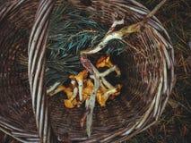 Houten mand met gele cantharellenpaddestoelen en van pijnboom altijdgroene naalden hoogste mening stock foto