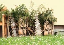 Houten marmotten Stock Afbeelding