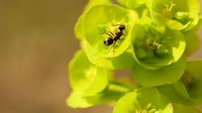 Houten mier op spurgebloem in de lente stock video