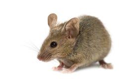 Houten muis Stock Afbeelding
