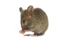 Houten muis die schoonmaken Stock Foto's