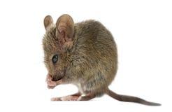 Houten muis die schoonmaken Stock Afbeelding
