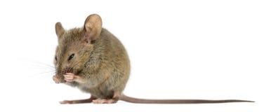 Houten muis die schoonmaken Stock Afbeeldingen
