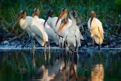 Houten Ooievaar - americana Mycteria riep vroeger de houten ibis Vond in subtropische en tropische habitat in Amerika royalty-vrije stock fotografie