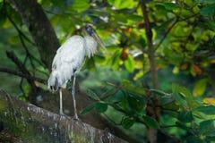 Houten Ooievaar - americana Mycteria riep vroeger de houten ibis Vond in subtropische en tropische habitat in Amerika royalty-vrije stock afbeelding