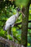 Houten Ooievaar - americana Mycteria riep vroeger de houten ibis Vond in subtropische en tropische habitat in Amerika stock fotografie