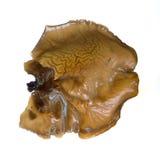 Houten oorpaddestoel stock foto's