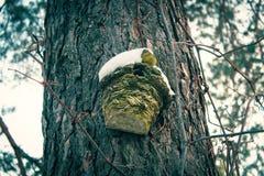 Houten pijnboomstompen onder het snowAhuis voor vogels op een pijnboomboom stock fotografie