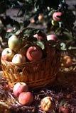 Houten rieten mand met verse rijpe appelen in de tuin royalty-vrije stock afbeeldingen