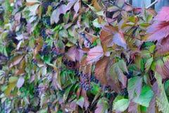 Houten rooster met rode bladeren van wilde druiven stock fotografie