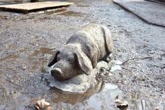 Houten standbeeld van varken in modder stock afbeeldingen