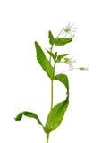 Houten Stitchwort (Stellaria-nemorum) Royalty-vrije Stock Foto's