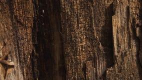 Houten Textuur Bijtende deklaag op droog hout stock videobeelden