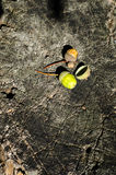 Houten textuur van gesneden boomboomstam en twee eikels Royalty-vrije Stock Foto's
