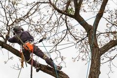 Houthakker met zaag en uitrusting die een boom snoeien Arborist het werk aangaande oude okkernootboom stock foto's