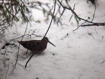houtsnip in plotselinge vlaag van sneeuw en net bos royalty-vrije stock afbeeldingen