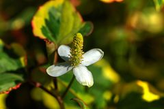 Houttuynia Bebaute Blume Stockbilder