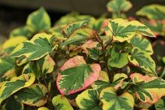 Houttuynia cordata `Chameleon` stock photo