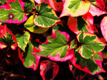 Houttuynia cordata `Chameleon` Royalty Free Stock Images