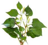 Houttuynia cordata fish herb Stock Photos