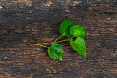 Houttuynia Cordata Fish plant or Plu Kaow vegetable stock photography
