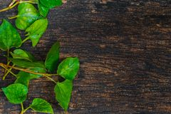 Houttuynia Cordata Fish plant or Plu Kaow vegetable with fish smell herb. Asian healthy food Stock Image