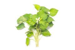 Houttuynia cordata. Isolated on white background Stock Photo