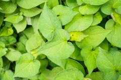 Houttuynia cordata kwon as fish mint. Or Plu Kaow Thai herbal medicine Royalty Free Stock Photography
