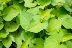 Houttuynia cordata kwon as fish mint. Or Plu Kaow Thai herbal medicine Stock Photo