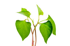 Houttuynia cordata leaves Royalty Free Stock Images