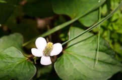 Houttuynia cordata Royalty Free Stock Image