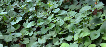 Houttuynia cordata Thunb Royalty Free Stock Image
