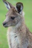 Houtvester Kangaroo 1 Stock Afbeelding