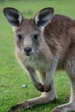 Houtvester Kangaroo 2 Stock Foto