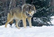 Houtwolf Royalty-vrije Stock Foto's
