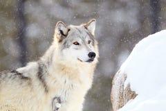 Houtwolf bij alarm tijdens sneeuwonweer royalty-vrije stock foto