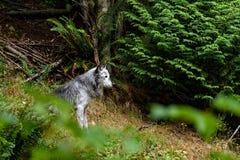 Houtwolf & x28; caniswolfszweer & x29; Royalty-vrije Stock Afbeeldingen