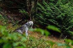Houtwolf & x28; caniswolfszweer & x29; Stock Afbeeldingen