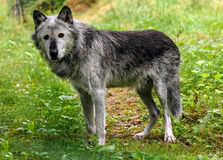 Houtwolf & x28; caniswolfszweer & x29; Stock Afbeelding