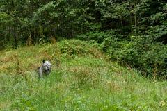 Houtwolf & x28; caniswolfszweer & x29; Royalty-vrije Stock Fotografie