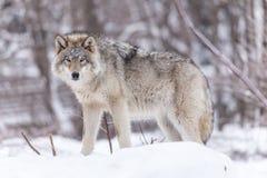 Houtwolf in een de winterbos Stock Foto