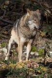 Houtwolf met prooi royalty-vrije stock afbeelding