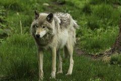 Houtwolf op een grasrijk gebied Stock Fotografie