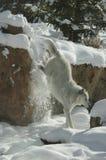 Houtwolf in rotsachtige bergen van Montana stock afbeeldingen