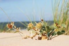 Houx de mer sur la plage Images libres de droits