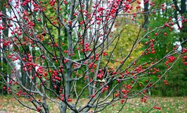 Houx de Winterberry, verticillata d'Ilex, pendant l'automne Photos stock