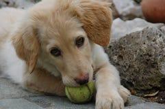 Hovawart - σκυλί κουταβιών στοκ εικόνες