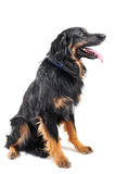 Hovawart. Purebred hovawart sitting in front of a white background royalty free stock photo