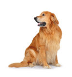 Hovawart dog Royalty Free Stock Images