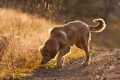 hovawart psi biel Fotografia Stock